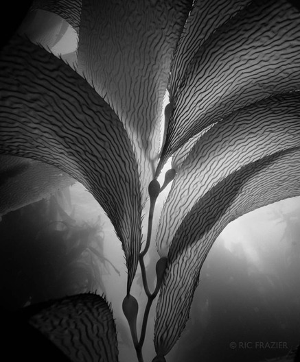 underwater photography Kelp